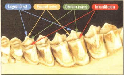 Aging Whitetail Deer Teeth